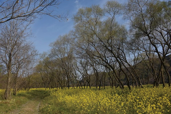 入田の菜の花畑